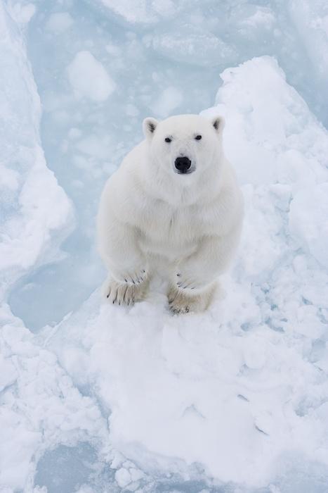 A Polar Bear - photographed by Vegard Aksnes