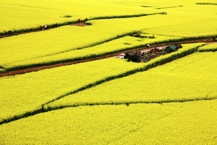 Ocean of Flowers in Luoping, China (5)